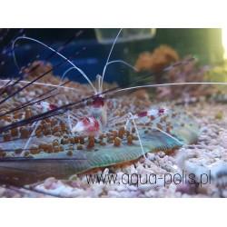 Acreichthys tomentosus...