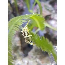 Gnathophyllum americanum...