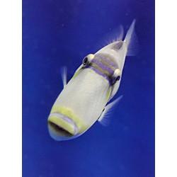 Salarias fasciatus (Algae...
