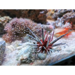 Phyllacanthus imperialis