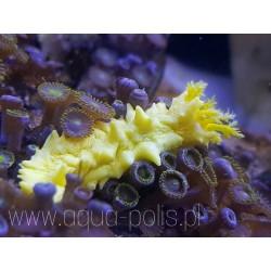 Colochirus robustus